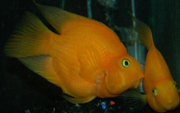 12 см попугай оранжевой окраски