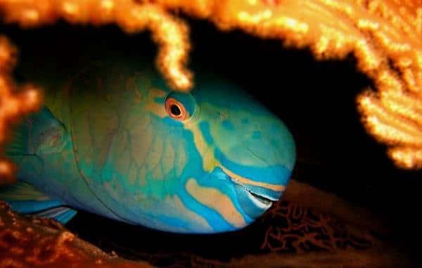 Рыба-попугай-Образ-жизни-и-среда-обитания-рыбы-попугай-11