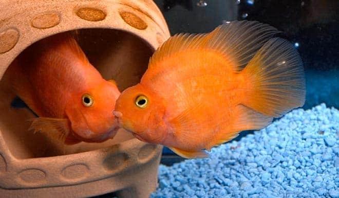 аквариум для рыбки попугая