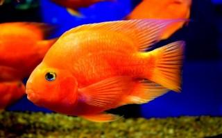 Рыба попугай (аквариумная цихлида): содержание, уход, совместимость с другими рыбками
