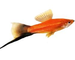 Рыбки Меченосцы: содержание, виды, разведение