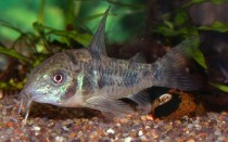 Сомики Коридорасы: содержание, уход и размножение