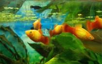 Пецилии рыбки: содержание и уход, половые различия самца и самки, виды, фото-видео обзор
