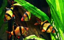 Все виды барбусов и условия их содержания в аквариуме