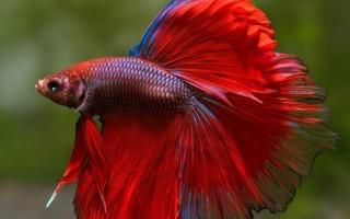 Особенности ухода и содержания рыбки петушка в аквариуме