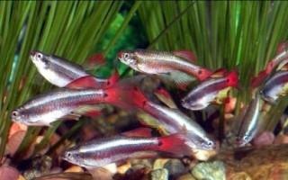 Аквариумная рыбка кардинал: виды, содержание и уход, разведение