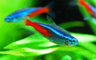 Разновидности и содержание неонов в аквариуме