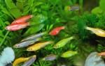 Данио рерио – содержание в аквариуме