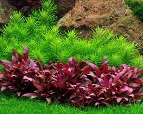 Аквариумное растение альтернантера