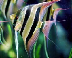 Скалярия (Pterophyllum scalare): содержание в аквариуме, виды, разведение