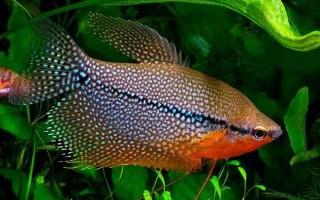 Разновидности гурами: наиболее распространенные и известные виды