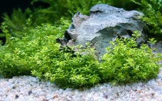 Особенности аквариумного растения Хемиантус микрантемоидес
