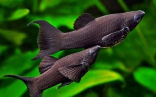 Моллинезии рыбки: содержание, уход, виды, совместимость, разведение, фото-видео обзор