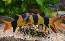 Рыбка Боция: фото с описанием, нюансы содержания и ухода, совместимость с другими рыбами, а также сколько живут в аквариуме и как размножаются?