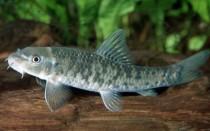 Гарра руфа: содержание рыбки в домашних условиях, уход, разведение дома, лечебное действие, кормление, фото