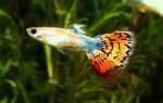 Виды гуппи: их основные цветовые окрасы и форма