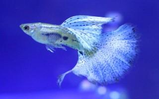 Аквариумные рыбки Гуппи: общая информация