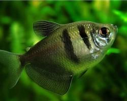 С кем лучше всего уживается Тернеция – все о совместимости с другими аквариумными рыбками, от гуппи до гурами