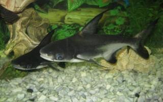 Как содержать акульего сома в домашнем аквариуме