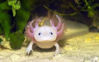 Аксолотль в вашем домашнем аквариуме (фото)
