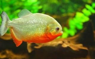 Пираньи содержание рыбы в аквариуме, виды, фото-видео обзор