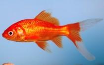Рыбка комета (золотая аквариумная рыбка): виды (ситцевая, красная, черная, желтая), как отличить самца от самки, содержание, фото, размножение