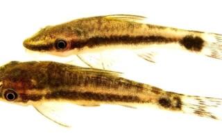 Отоцинклюс аффинис (Otocinclus affinis)