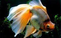 Вуалехвост: содержание золотой рыбки, совместимость, разведение