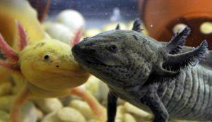 Содержание вид мексиканской саламандры в аквариуме