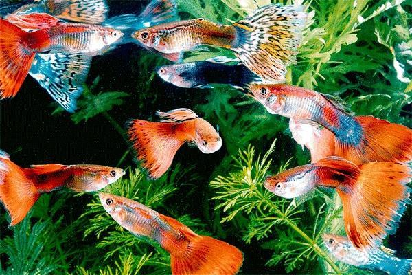 Содержание рыбок гуппи