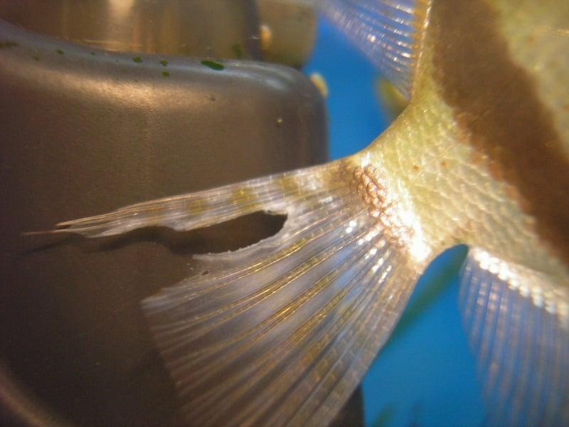 Первые симптомы развития болезни у аквариумных рыб