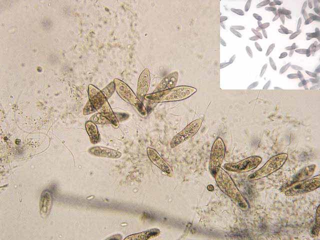 Кормление живой пылью (инфузорией) мальков