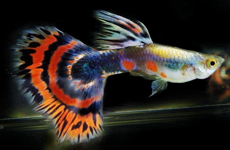 Общая информация о рыбках Гуппи