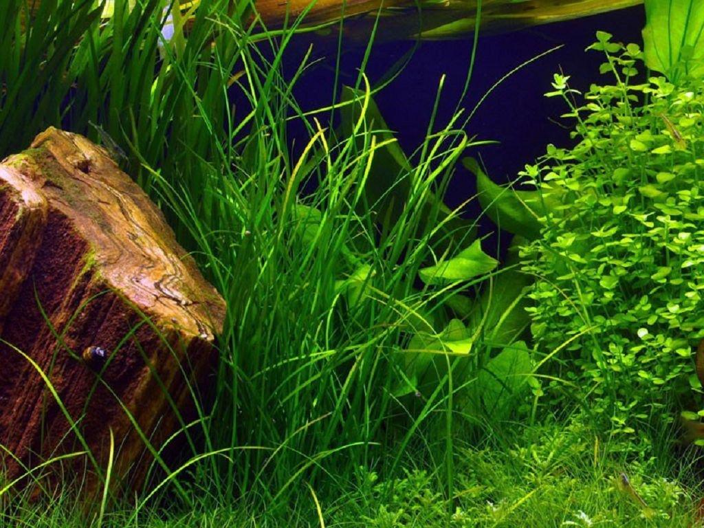 Содержание растения в аквариуме
