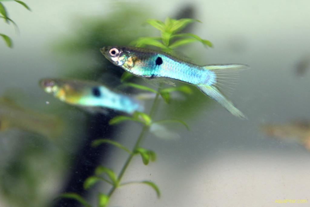 Гуппи Эндлера в аквариуме